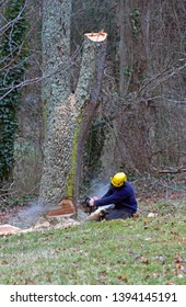 An old cherry tree being cut down by a man using a chain saw on a winter's day