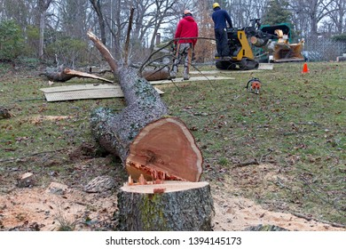 An old cherry tree cut down by professional arborists is being cut up and fed into a wood chipper on a winter's day