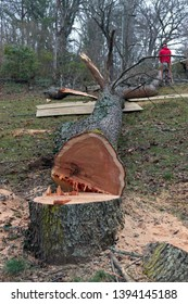 An old cherry tree cut down by a chain saw lies along the ground while an arborist cuts it into smaller segments so it can be fed into a wood chipper