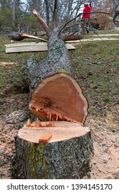An old cherry tree just cut down by a chainsaw lies along the ground on a winter's day