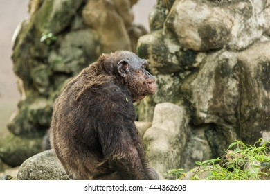 Old chimpanzee in zoo.