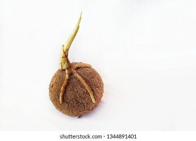 old coconut fruit with growing shoots and peeled of isolated on a white background.