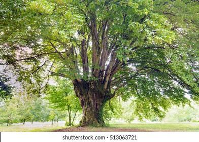 Old common hornbeam (Carpinus betulus) tree.
