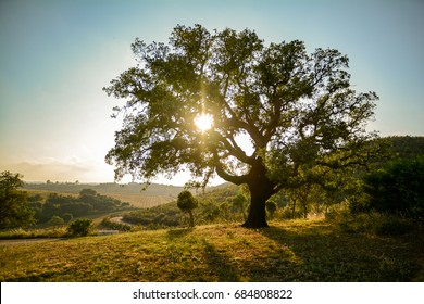 Old Cork oak tree (Quercus suber) in evening sun, Alentejo Portugal Europe