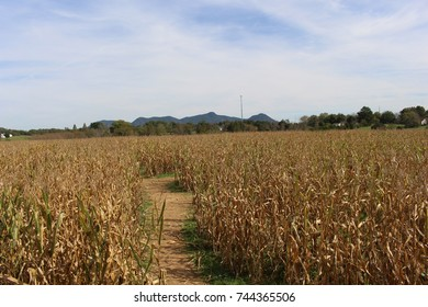 Old corn in cornfield with stalks and ears grown and dry