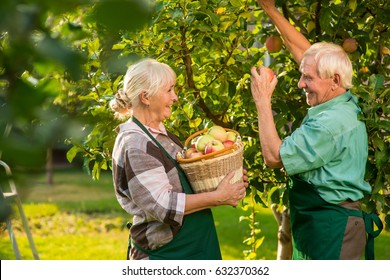 Old couple is picking apples. Woman smiling and holding basket. Fruit garden ideas.