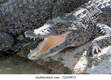 Old Crocodile with open mouth in a farm