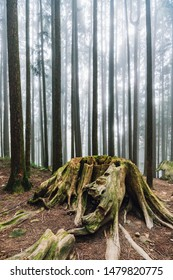 Old cut tree with roots in Japanese Cedar Forest with fog in Alishan National Forest Recreation Area in winter in Chiayi County, Alishan Township, Taiwan.