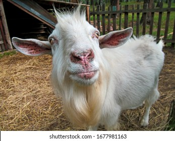 Old cute goat. Portrait of one domestic animal with white fur standing in his paddock. Closeup head and face and of funny pet posing outdoor. Eyes are looking at the camera. Agriculture image.
