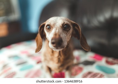 Old Dachsund on the couch