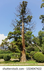 Old damaged juniper grows in the city Park of Alupka. Park alley of Vorontsov Palace