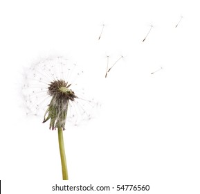old dandelion and flying seeds isolated on white background