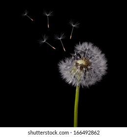 old dandelion and flying seeds on black background