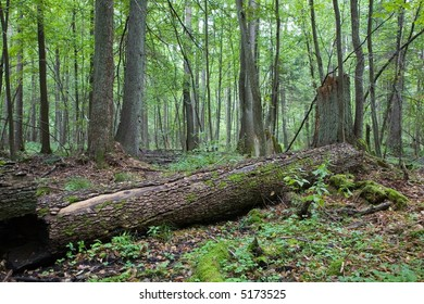 Old dead alder tree trunk lying on ground in fresh deciduous forest