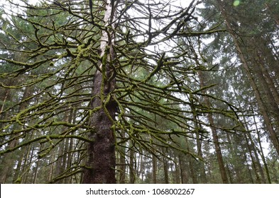 Old dead conifer tree with branches covered by moss growing in a forest