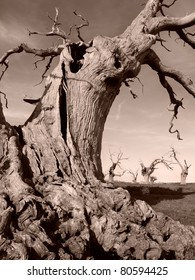 Old dead Oak tree