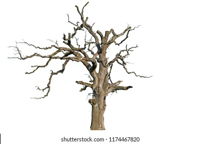An old dead oak tree is isolated on a white background. Isolate the giant dead oak trees. Dead hollow oak tree isolated on white background