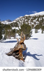 old dead tree roots exposed in snowy Sierra Nevada Mountains