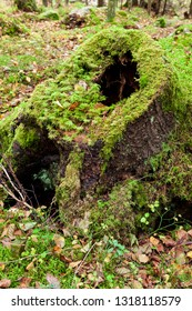 Old dead tree stump decay in forest