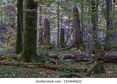 Old dead trees in autumn among juvenile deciduous hornbeams with lots of decline spruce logs, Bialowieza Forest, Poland, Europe