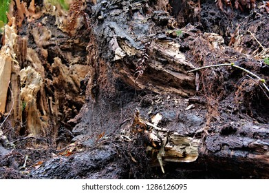 Old decaying rootstock in forest texture and details brown color wet surfaces roots of mature forest tree background