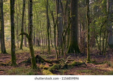 Old deciduous forest in sunrise with oaks and hornbeams, Bialowieza Forest, Poland, Europe