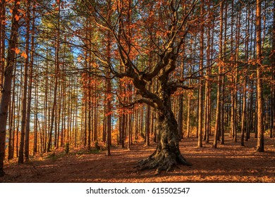Old deciduous tree among a pine forest