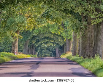 Old deciduous trees along the asphalt road in Poland. Tree lined country road. Eastern Europe.