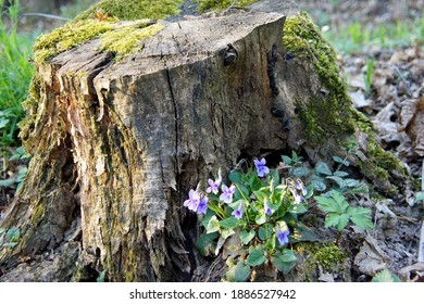 old decrepit tree stump strewn with green moss and violet forest flowers in spring
