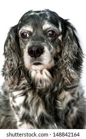 Old Depressed Dog