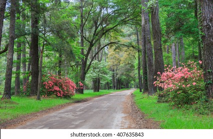 An old dirt road in the lowcountry of Edisto Island near Charleston in South Carolina is lined with pink blooming azalea bushes inviting visitors to explore.
