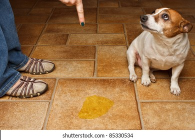 Old dog being scolded beside it's urine on the floor