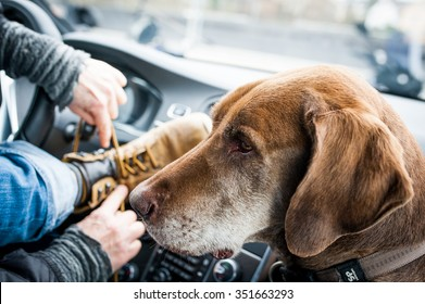 An old dog in the car