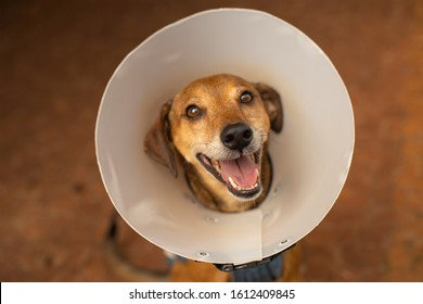 Old dog, of no defined breed, is wearing Elizabethan collar (cone).