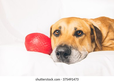 Old Dog on bed with red ball