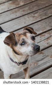 Old dog with one eye at home on wood deck waiting for owner.
