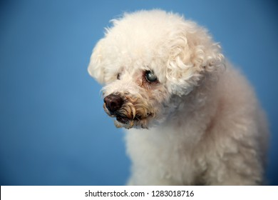 OLD Dog Photo Shoot. Beautiful 14 Year Old Blind and Deaf Bichon - Poodle with a blue seamless background. Valentines Day Photo Shoot. Blind and Deaf Dog.  Dog Rescue Group Photo Shoot.