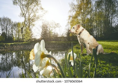 Old dog in spring nature. Labrador Retriever sitting on the bank of the lake during sunset.
