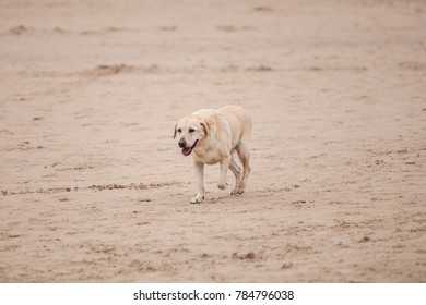 Old dog walking on the beach