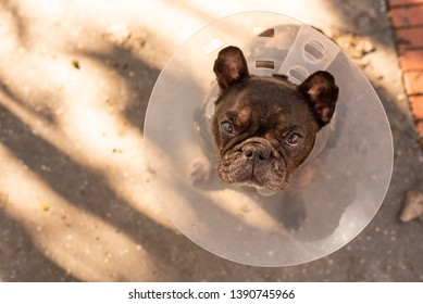 Old dog wearing medical cone because of an ulcer in the eye on street