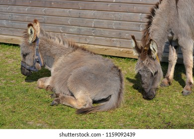 Old Donkeys Resting at a Donkey Retirement Sanctuary.