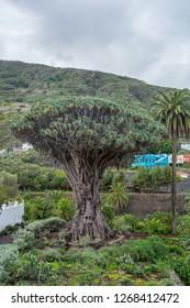 """Old dragon tree """"El Drago"""" of Icod de los Vinos Tenerife Spain - looking north with old town of Icod de Los Vinos in background"""