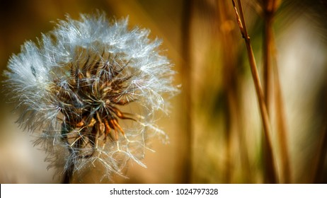 old dried out summer dandelion