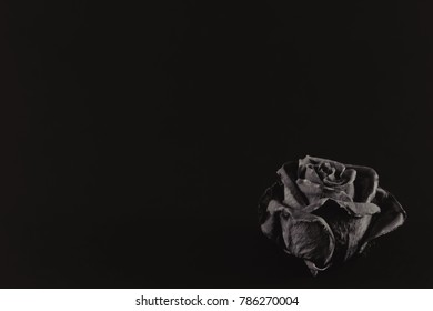 Old and dried rose isolated on black background