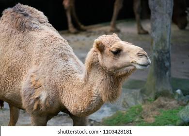 Old dromedary arabian camel from Egypt close up