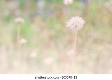 Old dry grass flower in soft light blur filter