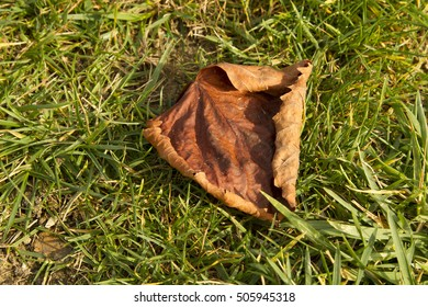 The old dry maple leaf on the green grass