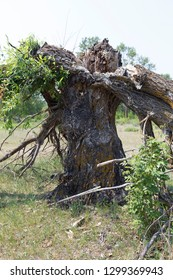 The old dry tree fell apart after a hurricane into several parts from a lightning bolt.