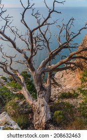 Old dry tree on the edge of a cliff at sunrise in Crimea