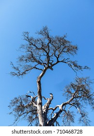 Old dry tree. A view of a dry bud, no leaves and dry trunks and branches of a tree silhouette amidst blue sky.  copy space, selective focus and toned image